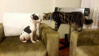Gambar cover Amstaff Yavrumuzla Kedi Bambi Bir Araya Gelince Bakın Ne Yaptı - Pitbull Ailesi TV