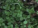 Edible Plants: Chickweed