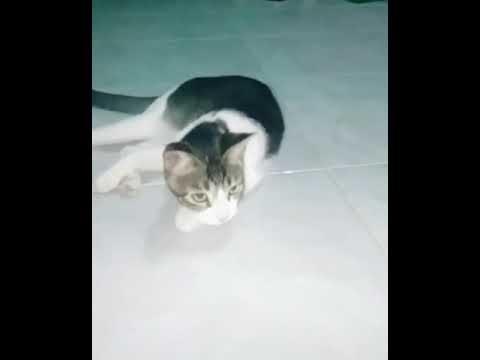 Video pendek Kucing jaranan