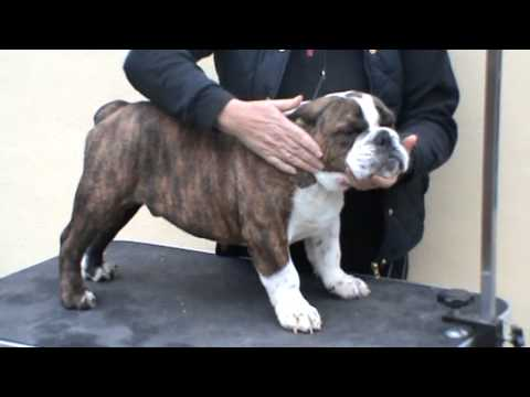 Hillplace Bulldogs guide to buying a bulldog puppy