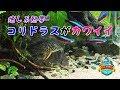 No.061 癒し系熱帯魚  コリドラスがカワイイ の動画、YouTube動画。