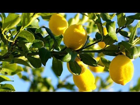 Potatura Limone Poche Semplici Regole