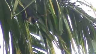 澳洲黑狐蝠飛行與棲息Black Flying Fox-狐蝠科-澳洲凱恩斯-20090120-賴鵬智攝