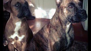 Как научить собаку командам. Собака породы боксёр. Породы собак.