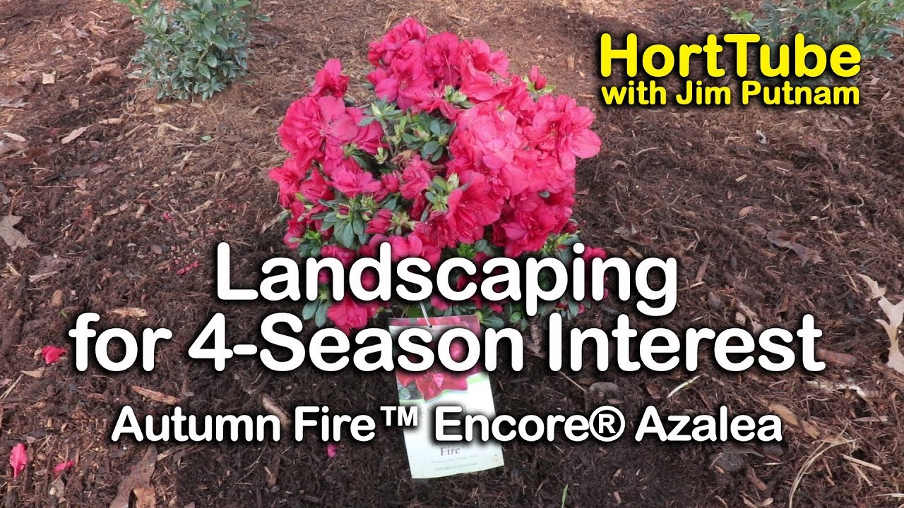 Gardening For Year Round Interest Autumn Fire Encore Azaleas