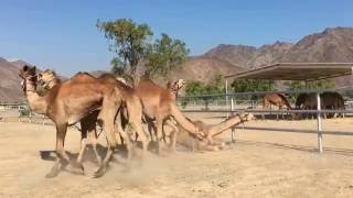 Australian Camels exported to Gulf States