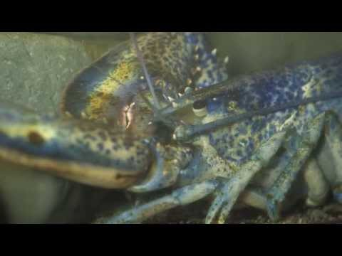 North American Lobster (15 seconds)