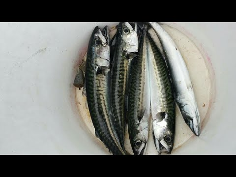 Mackerel And Striper Fishing (Saco/OOB Maine 2019)