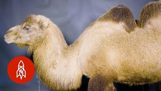Behold the Bactrian Camel