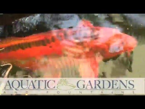 Birmingham Koi  | Aquatic Gardens Birmingham | 205-995-9466