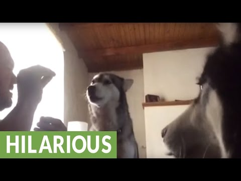 Singing huskies perform incredible dog tricks