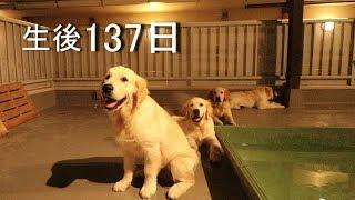 Golden Retriever, Chiro's Puppies birth 137th days (Ein-Mura)