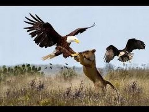 Eagle vs Lion - YouTube