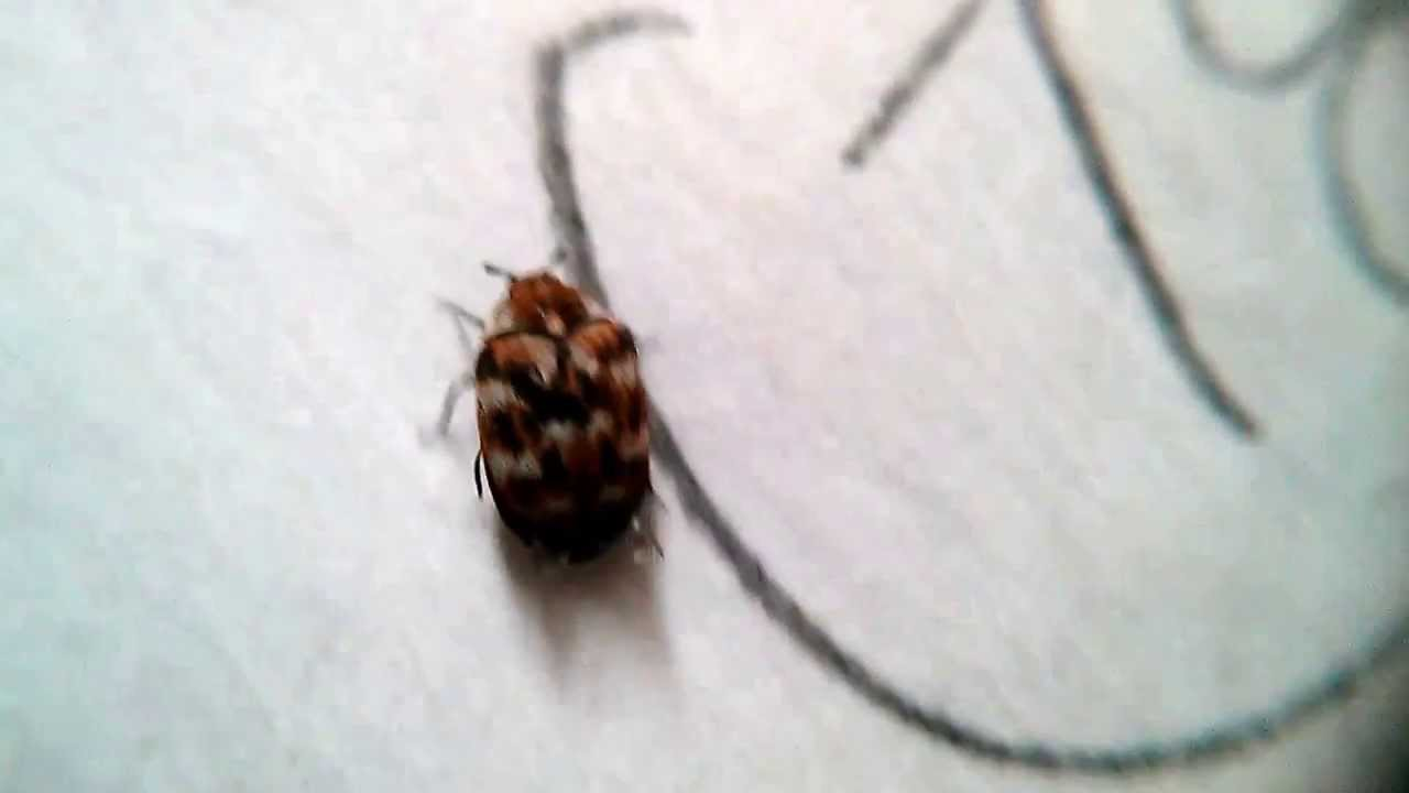 Small Brown Bugs In Kitchen Brown Flying Bugs In Bedroom Bedroom Style Ideas