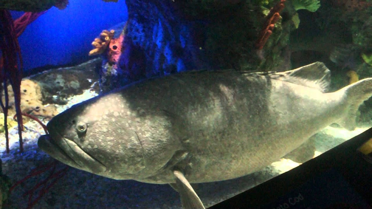 Atlantic Goliath Grouper Tank