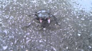 Stag beetle off Brixton Water Lane, London