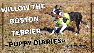 Puppy Diaries 1 Willow the Boston Terrier (2 Months6 Months)