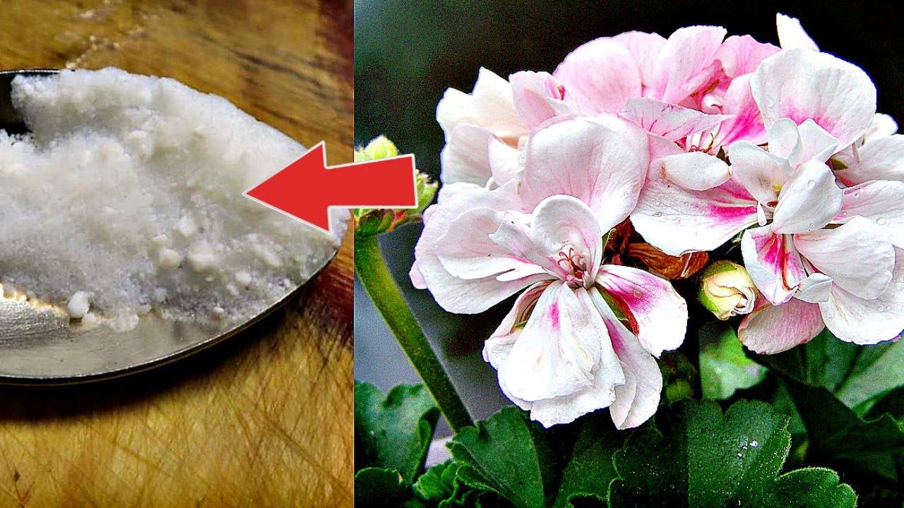 Аптечная подкормка от которой герань цветет как в райском саду! Как подкормить герань бором?