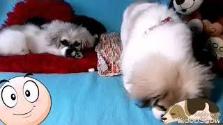 Знакомство … Бони Чу и Роза Мимоза … pets - пикинес собаки
