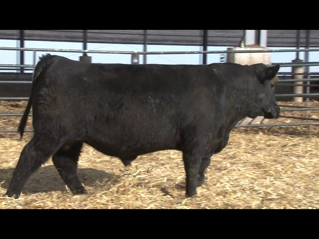 Schiefelbein Angus Farms Lot 148
