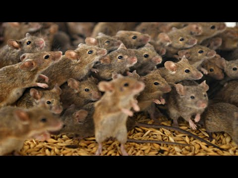 Mouse INVASION! Millions of Mice Destroying everything edible in NSW, Australia