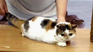 Перепуганный ЭКЗОТический Котик на Выставке - Милое Няшное Создание | ПОРОДЫ КОШЕК