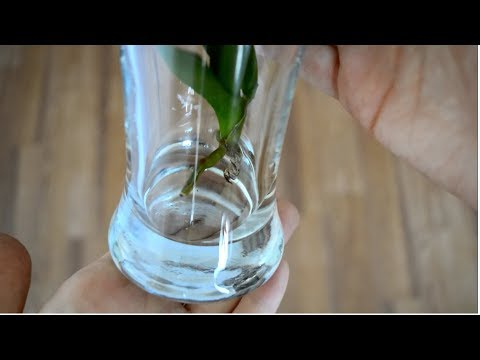 REANIMATION OF ORCHID WITHOUT ROOTS OVER WATER (IN WATER) IN THE GREENHOUSE