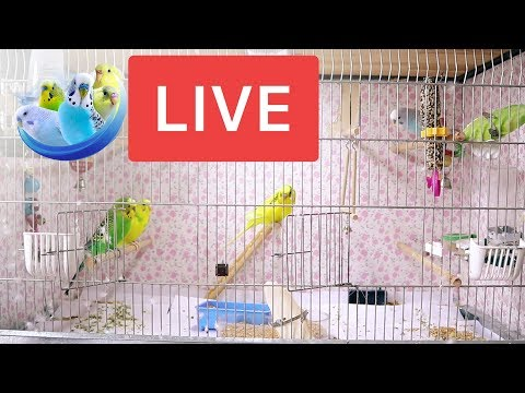 Live Video | How's like to clean Budgies cage