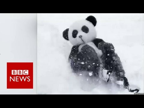 Panda suit man in snow battle challenge to Tian Tian - BBC News