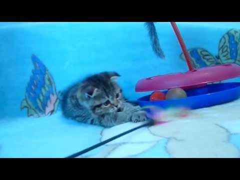 Cute Scottish Fold Kitten | 4 Month / Шотландская Вислоухая | 4 .