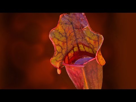 SARRACENIA CARE CONDITIONS | PITCHER PLANT