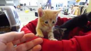 Really Cute Baby Foster Kittens In Red Wicker Basket - 3 Weeks Old - Orange & Tortoiseshell