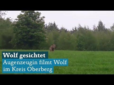 Kreis Oberberg: Wolf bei Gummersbach-Apfelbaum von Augenzeugin gesichtet, Behörden bestätigen
