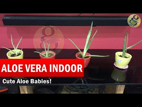 How to Grow Aloe Vera Plant Indoors | How to care aloe vera babies indoors in English