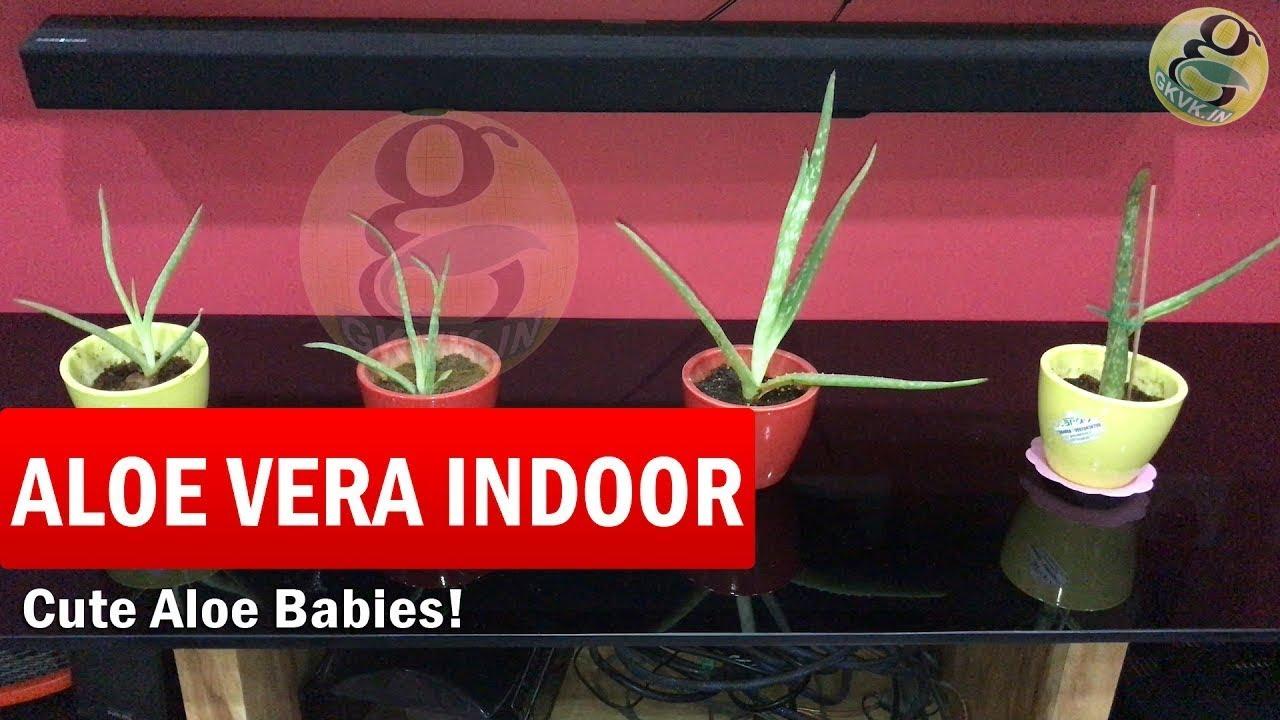 how to grow aloe vera plant indoors