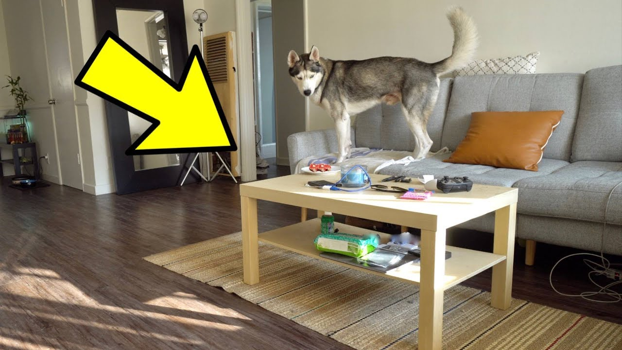 Will My Husky Steal His Food Off The Table While I'm Away?