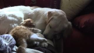 Доброта собаки принимается котом за слабость