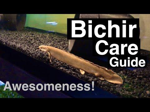 Bichir Fish Tank Care - Tank Mates & Food