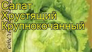 Салат хрустящий крупнокочанный. Краткий обзор, описание характеристик, где купить семена