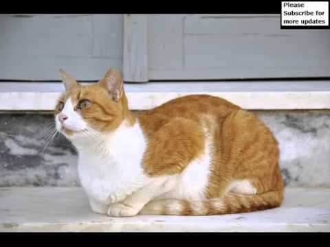 Aegean Cat Orange | Cat Picture Collection