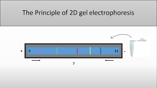 The principle of 2D Gel Electrophoresis/and the isoelectric point