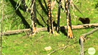 Bear Hunting Deer Thumbnail