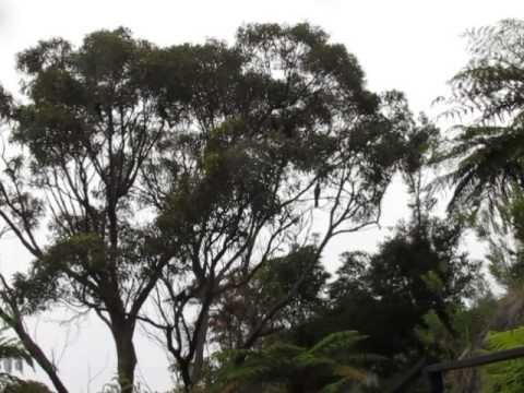 Song of the Currawong