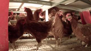 Cage-Free Egg Production Tour
