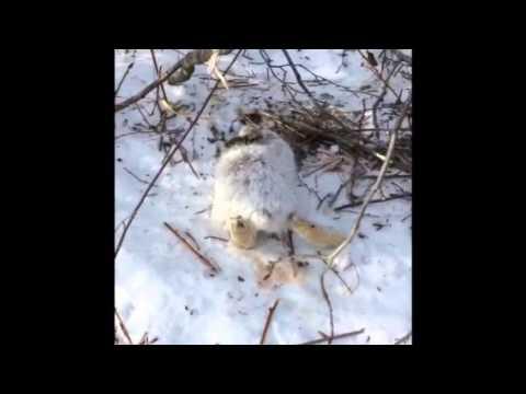 winter rabbit snaring 2 snare line 1 youtube. Black Bedroom Furniture Sets. Home Design Ideas