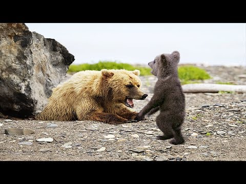 POOR BABY BEAR TRY TO SAVE MOTHER FROM FALLING ROCKS BUT FAIL | Animals Save Animals