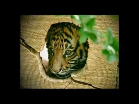 Image Result For China Tigersa
