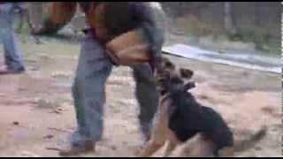 German Shepherd Conditioning Exercise !