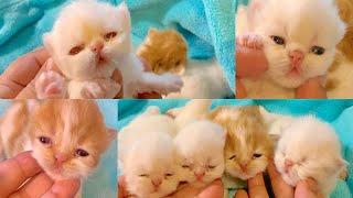 4 Persian Kittens (12Days)