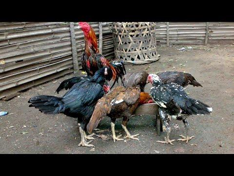 6 Cara Budidaya Ayam Bangkok Untuk Pemula Paling Mudah ...